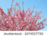 beautiful almond tree flowers...   Shutterstock . vector #1074527750