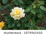 beautiful yellow rose    Shutterstock . vector #1074561410