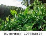 growing green tea plants in... | Shutterstock . vector #1074568634
