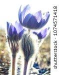 beautiful closeup violet spring ...   Shutterstock . vector #1074571418