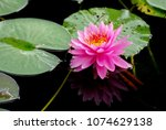 pink lotus or pink nymphaea...   Shutterstock . vector #1074629138