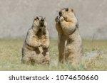 himalayan marmots  marmota... | Shutterstock . vector #1074650660