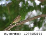 tiny savannah sparrow bird... | Shutterstock . vector #1074653996