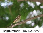 tiny savannah sparrow bird... | Shutterstock . vector #1074653999