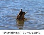 Female Mallard Duck With Head...