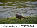 Small photo of Dove ,Dove and river,Dove on the grass.