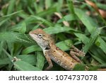 Small photo of Little Calotes versicolor, Lizards, varanid