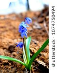 Small photo of Flowering Scilla in the spring