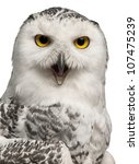 Stock photo female snowy owl bubo scandiacus year old portrait and close up against white background 107475239