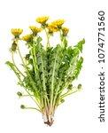 dandelion flowers with green... | Shutterstock . vector #1074771560