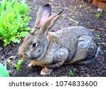 the flemish giant rabbit is a...   Shutterstock . vector #1074833600