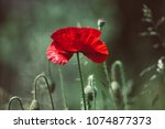 Red Poppy Flowers Blooming In...