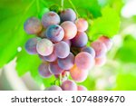 grapes close up   Shutterstock . vector #1074889670