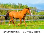 Stock photo chestnut horse at horse farm field scene 1074894896