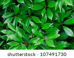 close up of  green leaves ... | Shutterstock . vector #107491730