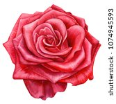 red rose on isolated white...   Shutterstock . vector #1074945593