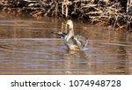 Small photo of Female mallard duck wing flap.