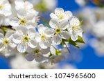 white flowers of the cherry... | Shutterstock . vector #1074965600