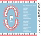 tooth chart with names   dental ... | Shutterstock .eps vector #1075065836