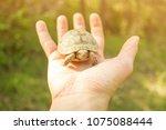 small tortoise on male hand... | Shutterstock . vector #1075088444