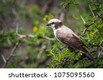 Small photo of White-crowned shrike in Mapungubwe national park, South Africa ; Specie Eurocephalus anguitimens family of Laniidae