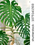 exotic tropical monstera palm... | Shutterstock . vector #1075161503