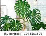 exotic tropical monstera palm... | Shutterstock . vector #1075161506