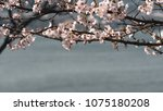 Small photo of Many cherry blossom flowers on the branch of tree beside the sea. Color pallid filter picture tone.