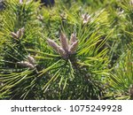 conifer green nature background | Shutterstock . vector #1075249928