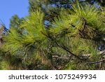 conifer green nature background | Shutterstock . vector #1075249934