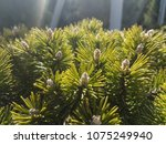 conifer green nature background | Shutterstock . vector #1075249940