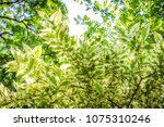 the pattern spotted leaves... | Shutterstock . vector #1075310246