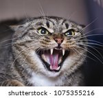 Stock photo angry adult tabby cat hissing and showing teeth 1075355216