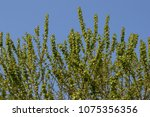 the green branches of the trees. | Shutterstock . vector #1075356356