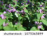 the insect eats the pollen. | Shutterstock . vector #1075365899