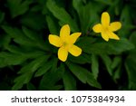 anemone ranunculoides  the... | Shutterstock . vector #1075384934