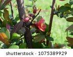 blooming pink quince. | Shutterstock . vector #1075389929