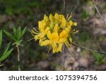 blooming rhododendron yellow. | Shutterstock . vector #1075394756