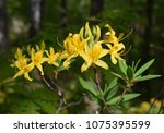 beautiful blooming rhododendron ... | Shutterstock . vector #1075395599