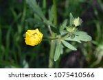 buttercup field yellow.  | Shutterstock . vector #1075410566