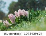 Pink Hyacinth Flowers...