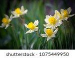 Narcissus Flower. Narcissus...