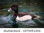 Ring Necked Duck Aythya Collaris