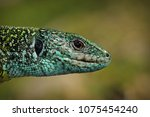male green lizard closeup of... | Shutterstock . vector #1075454240