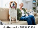Stock photo fat old beagle dog sticking out tongue and sitting near owner on sofa pleased senior woman 1075458596