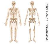 human skeleton. vector... | Shutterstock .eps vector #1075464263