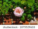 beautiful pale pink heritage... | Shutterstock . vector #1075529633