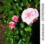 beautiful pale pink heritage... | Shutterstock . vector #1075529636