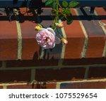 beautiful pale pink heritage...   Shutterstock . vector #1075529654