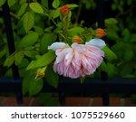 beautiful pale pink heritage... | Shutterstock . vector #1075529660